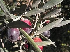 Cómo tomar el aceite de oliva