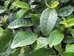 Té verde: contraindicaciones